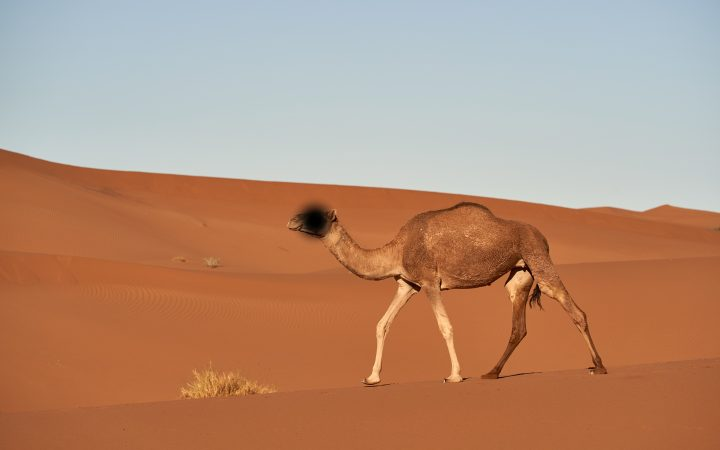 camel in Arabic
